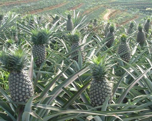 Where to buy Bromelain manufacturer &suppliers