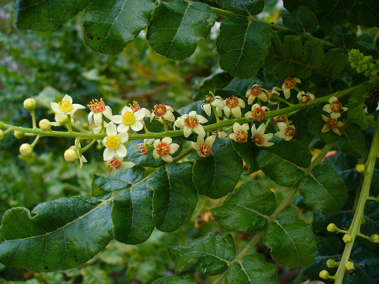 Boswellia serrata tree
