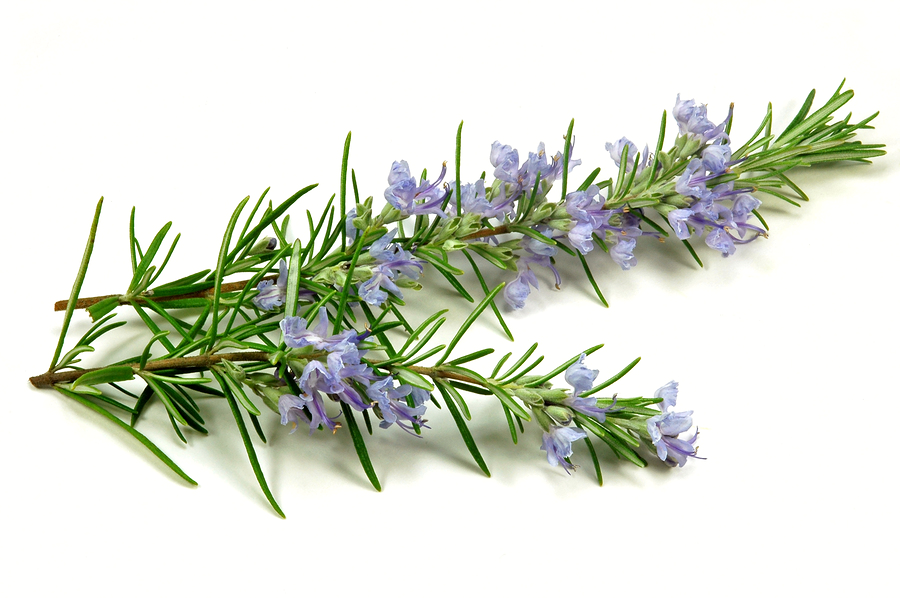 how to cut rosemary from plant