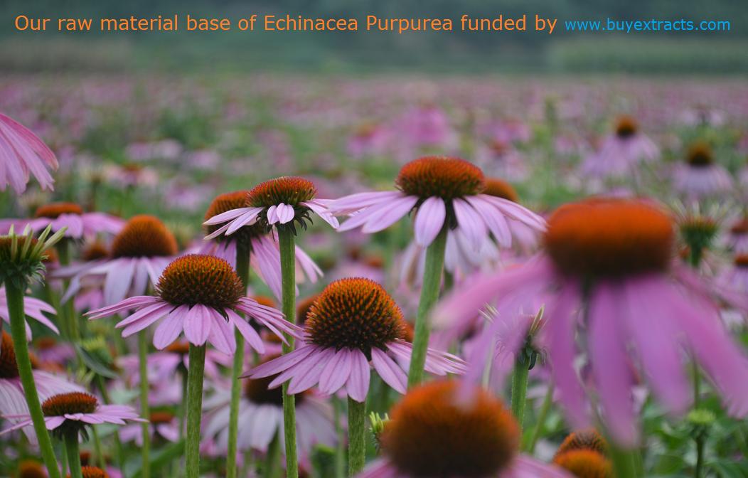 Where to buy echinacea