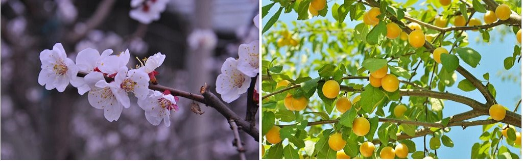 Apricot flower and fruit